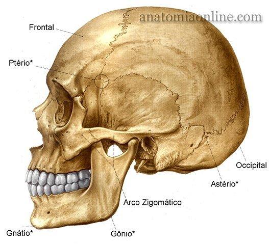 Quantos ossos tem o crânio?